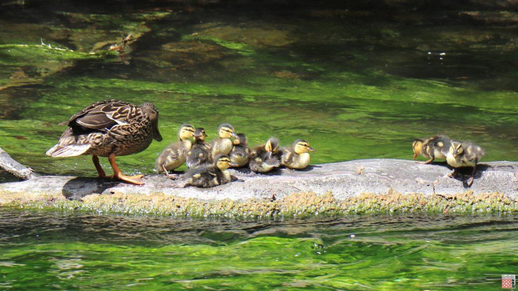 Entenfamilie | ©2020 Brickzeit